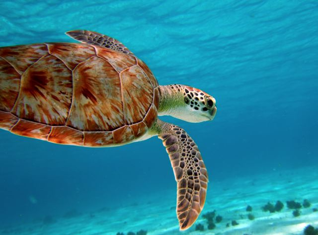 diving turtle_0