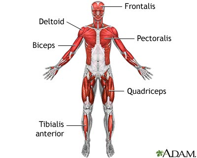 superficial-anterior-muscles
